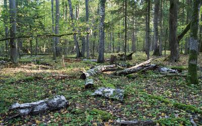 miškas resized