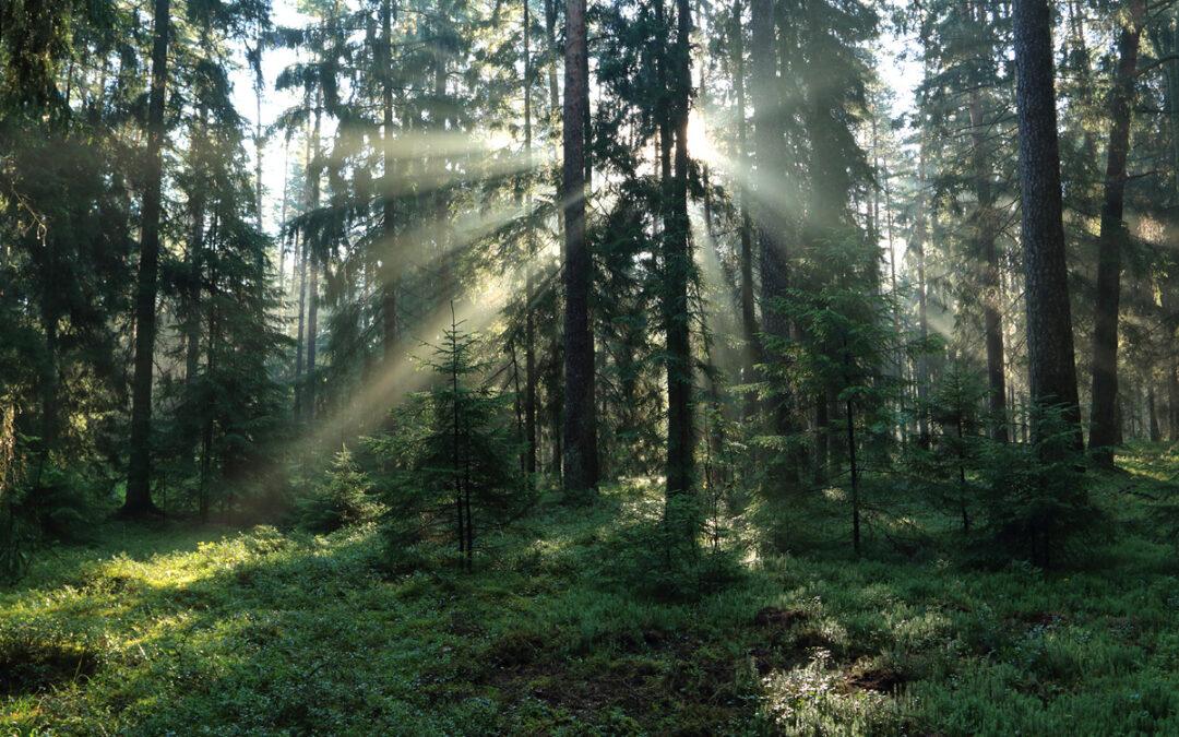Kas kainuoja brangiau – mediena ar prarasta brandaus miško kuriama vertė?